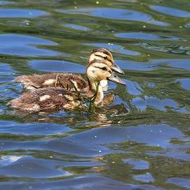 Pair of Mallard Ducklings Swimming by Marlin and Laura Hum