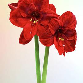 Pair of Red Amaryllis by Susan Savad