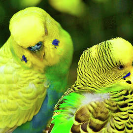 Budgies by Richard Perry