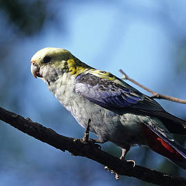 Pale-headed Rosella perched by Maryse Jansen