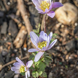 Pale pink anemone by Claudia M Photography