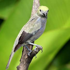 Palm Tanager Green Leaves by Marlin and Laura Hum