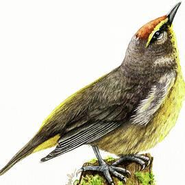 Palm Warbler by Linda Apple