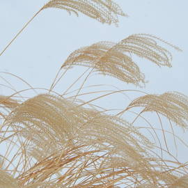 Pampas Grass Against the Snow by Barbara Ebeling