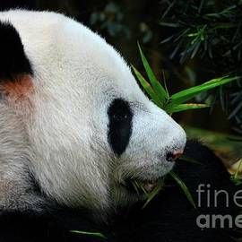 Panda bear eats and chews green plants Singapore by Imran Ahmed