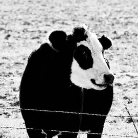Panda Face Smile Black Hereford Cow Squared by Gaby Ethington