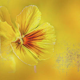 Pansy Shine ... by Judy Foote-Belleci