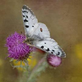 Parnassius Apollo Farfalla Su Fiore Di Montagna by Rita Di Lalla