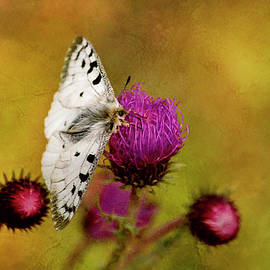 Parnassius Apollo the butterfly on mountain flower  by Rita Di Lalla