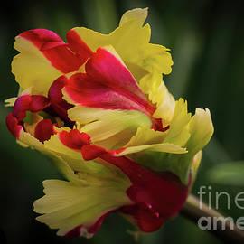Parrot Tulip by Elaine Teague