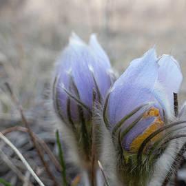 Pasque flowers by Karen Rispin