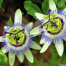 Passion Flowers 09921 by Kevin Chippindall