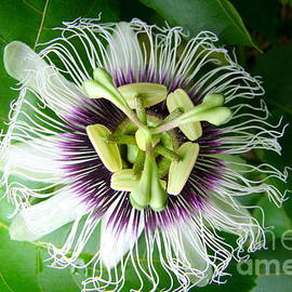 Passion Fruit Flower - 2 by Mary Deal