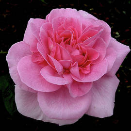 Passionately Pink by Daniel Beard