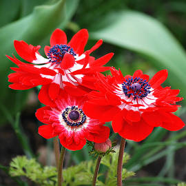Patriotic Anemones in Red White and Blue by Marilyn DeBlock