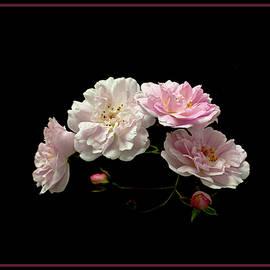 Paul's Himalayan Musk Rose by Robert Murray