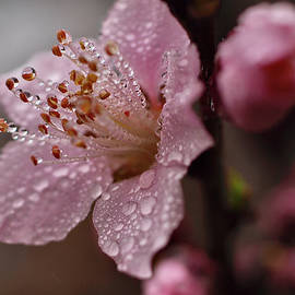 Blossoms in the Foggy Dew by Richard Perry
