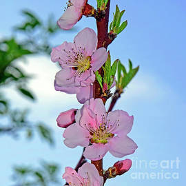 Peach blossoms on a twig by Tibor Tivadar Kui