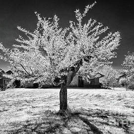 Peach Tree in Krska Vas by Norman Gabitzsch