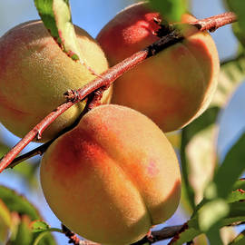 Peaches by Donna Kennedy