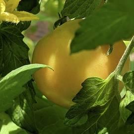Peachy tomato  by Kate Tidwell