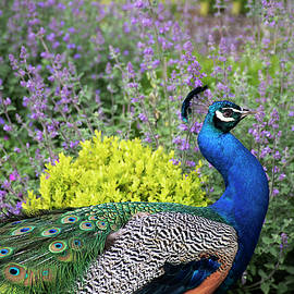 Peacock and Lavender - Beacon Hill Park