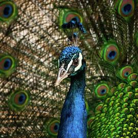 Peacock Beauty by Karol Livote