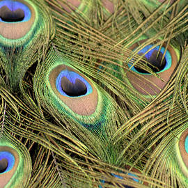 Peacock tail feathers by Loren Dowding