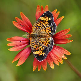Pearl Crescent Butterfly on Indian Blanket Flower Close Up by Gaby Ethington