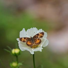 Pearl Crescent Butterfly White Cosmos by Marlin and Laura Hum