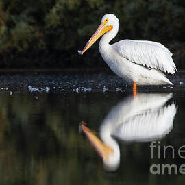 Pelican in the ponds by Ruth Jolly