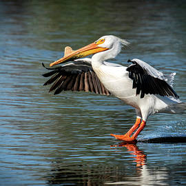 Pelican Landing by Judi Dressler