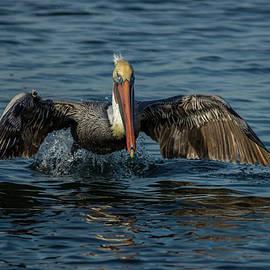 Pelican Lift-off by MaryJane Sesto