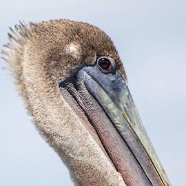 Pelican Stare by Mary Ann Artz