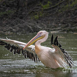 Pelican taking off by Pravine Chester