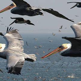 Pelicans by Doug LaRue