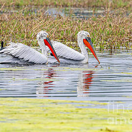 Pelicans in the water by Pravine Chester