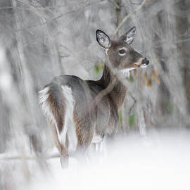Pensive Doe by Marty Saccone