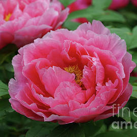 Peonies with Stunning Beauty by Jane Tomlin