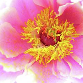 Peony Pollen by Susan Maxwell Schmidt