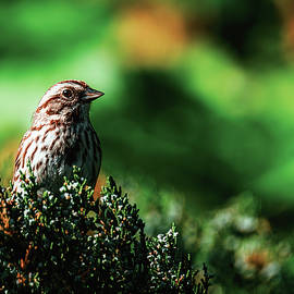 Perched on a Pine by Rich Kovach