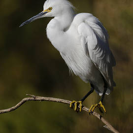 Perched Snowy Egret. by Paul Martin