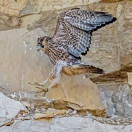 Peregrine Chick On Day 39 by Morris Finkelstein