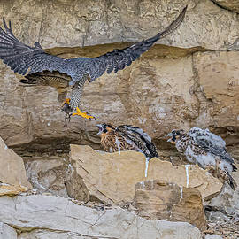 Peregrine Falcon Delivering Food by Morris Finkelstein