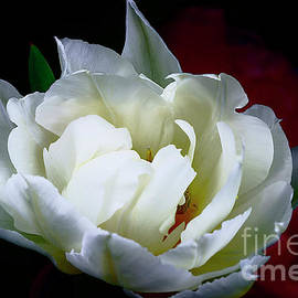 Perfection Of White Tulip. by Alexander Vinogradov