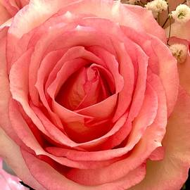 Perfectly Pink Rose by Femina Photo Art By Maggie