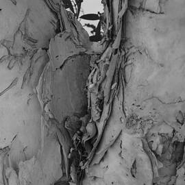 Perth Paperbark In Monochrome