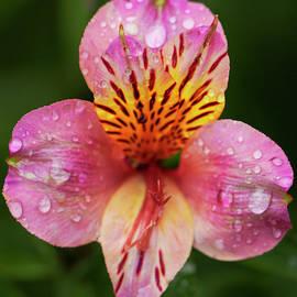 Peruvian Lillie in the rain by Warwick Lowe