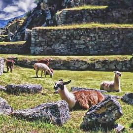 Peruvian Llamas by Anthony Dezenzio