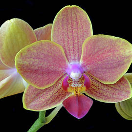 Phalaenopsis Miniature Orchids by Terence Davis